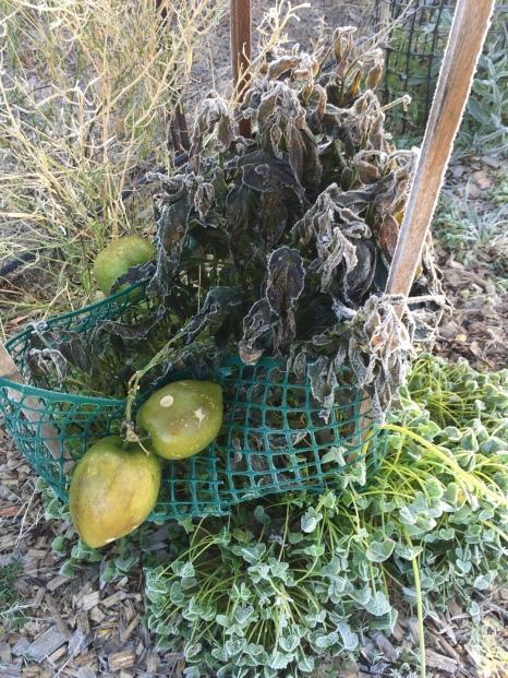 Unfortunately pepinoes got damaged