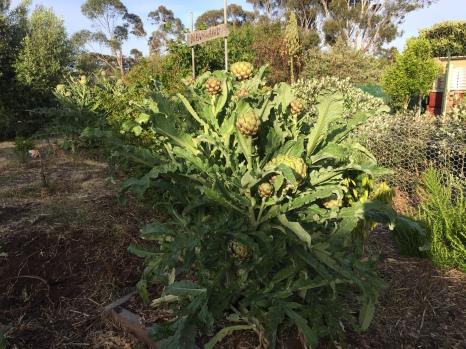 Artichokes in fruit 1