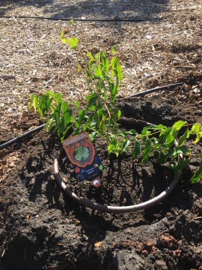 Bush - aniseed myrtle