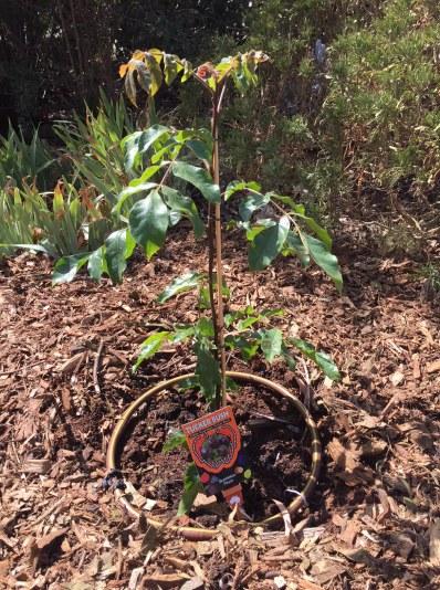 Bush - Burdekin plum