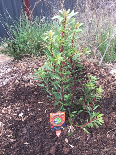 Bush - mountain pepper