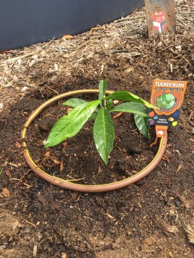Bush - native gardenia