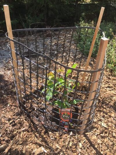 Bush - native guava