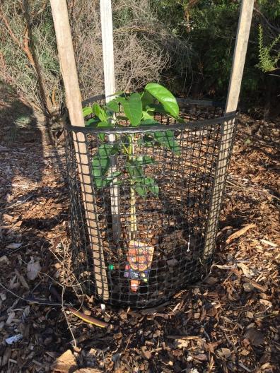 Bush - peanut tree