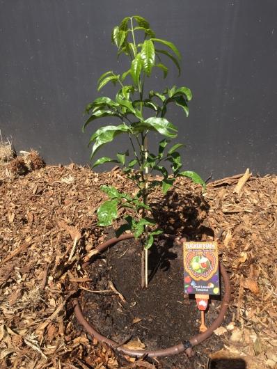 Bush - small leaf tamarind