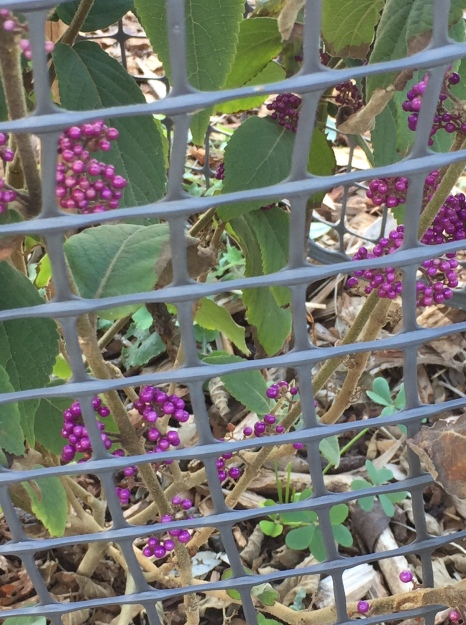 fall - beautyberry 1