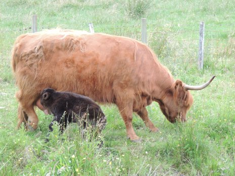 Clyde - coo and calf