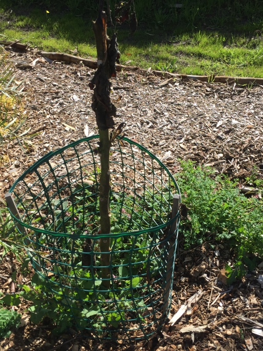 Grind - tomato tree frost damage